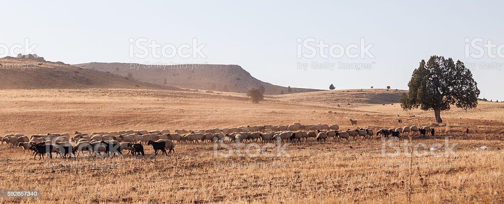 Grazing sheep herd in Anatolia, Turkey stock photo