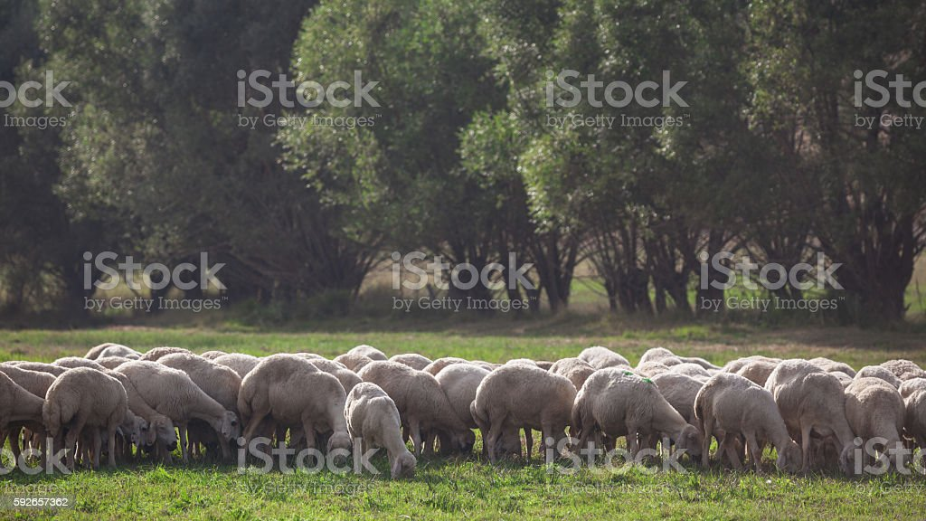 Grazing sheep herd in Anatolia, Turkey stock photo
