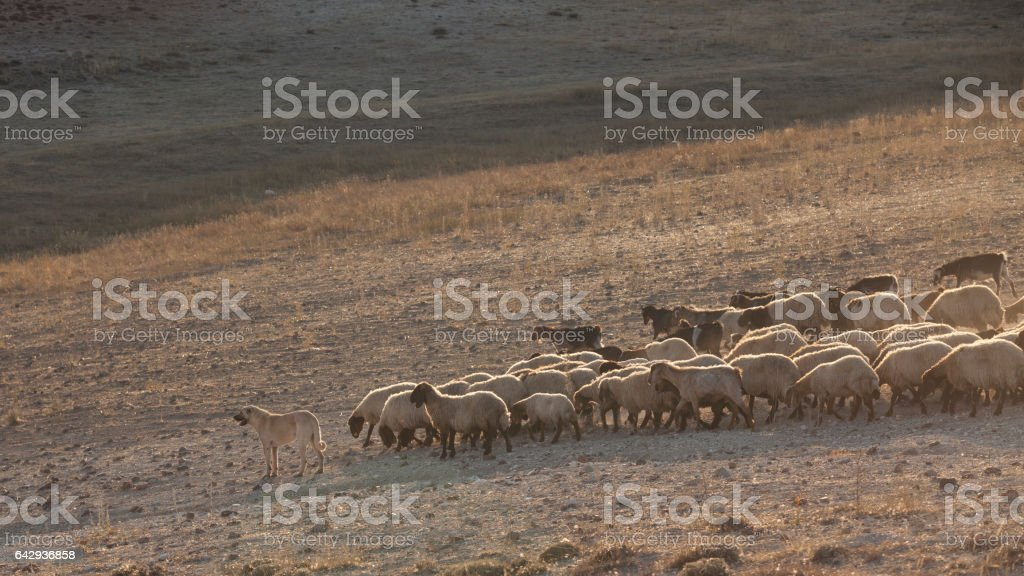 Grazing sheep herd in dry meadow during summer,Anatolia, Turkey stock photo