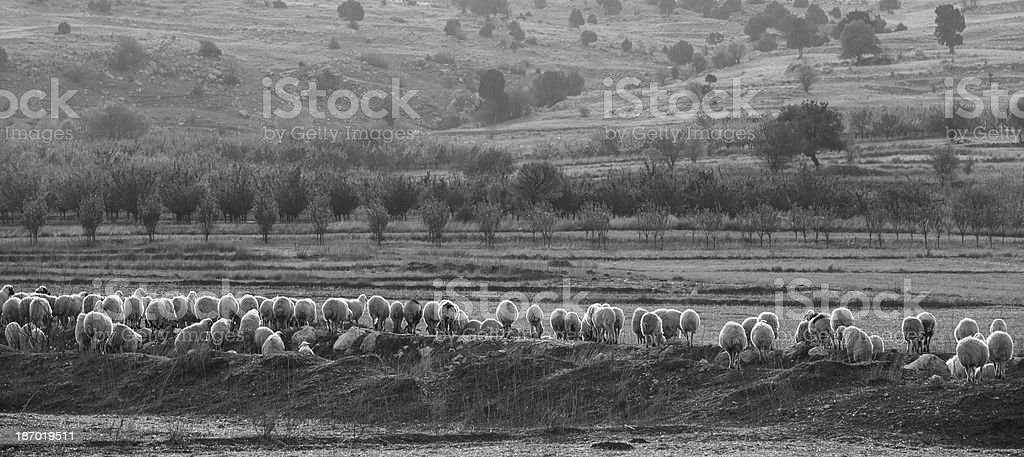 Grazing sheep herd in mountains of Anatolia, Turkey royalty-free stock photo