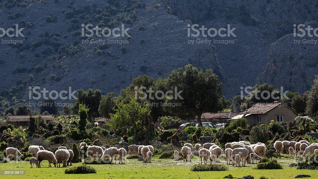 Grazing sheep herd in mountains of Anatolia, Turkey stock photo