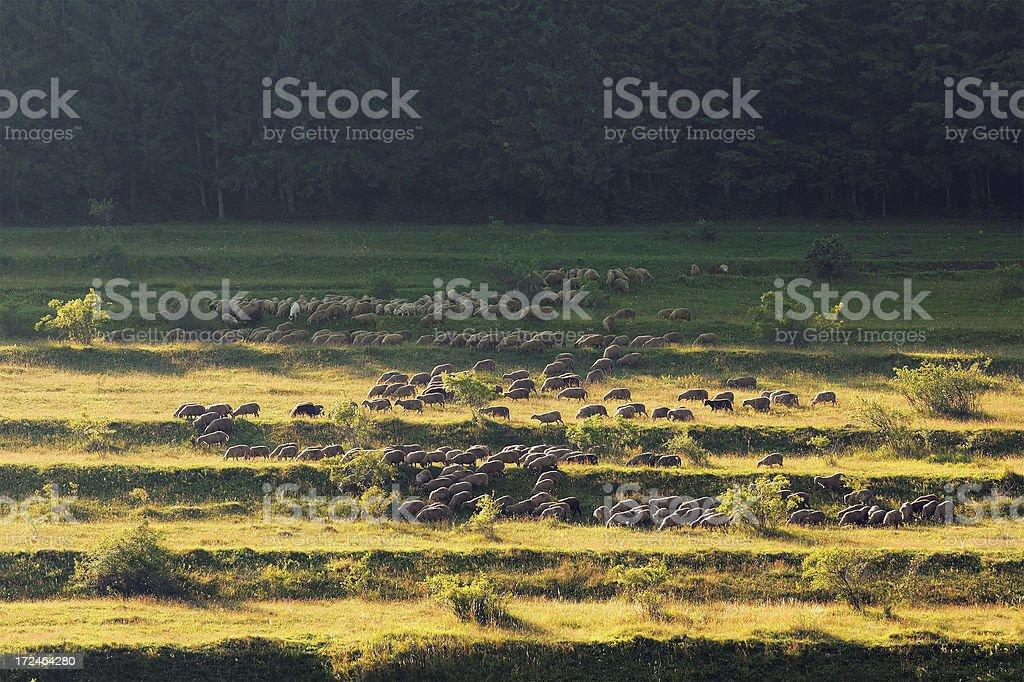 grazing sheep herd royalty-free stock photo
