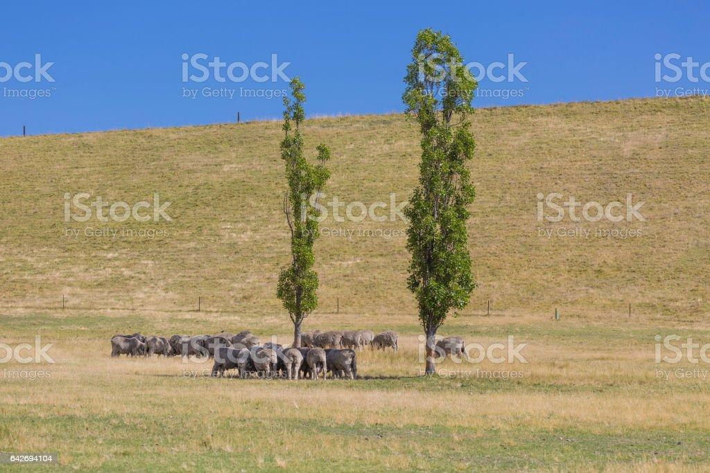 Grazing sheep, New Zealand stock photo