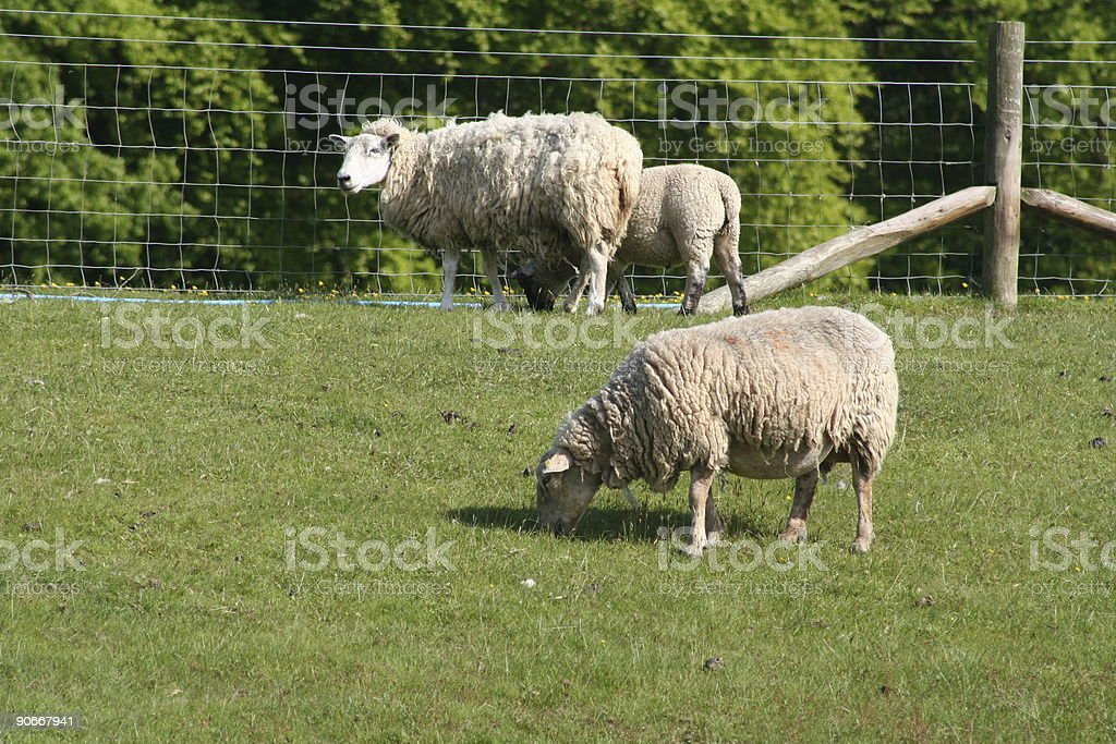 Grazing Sheep royalty-free stock photo