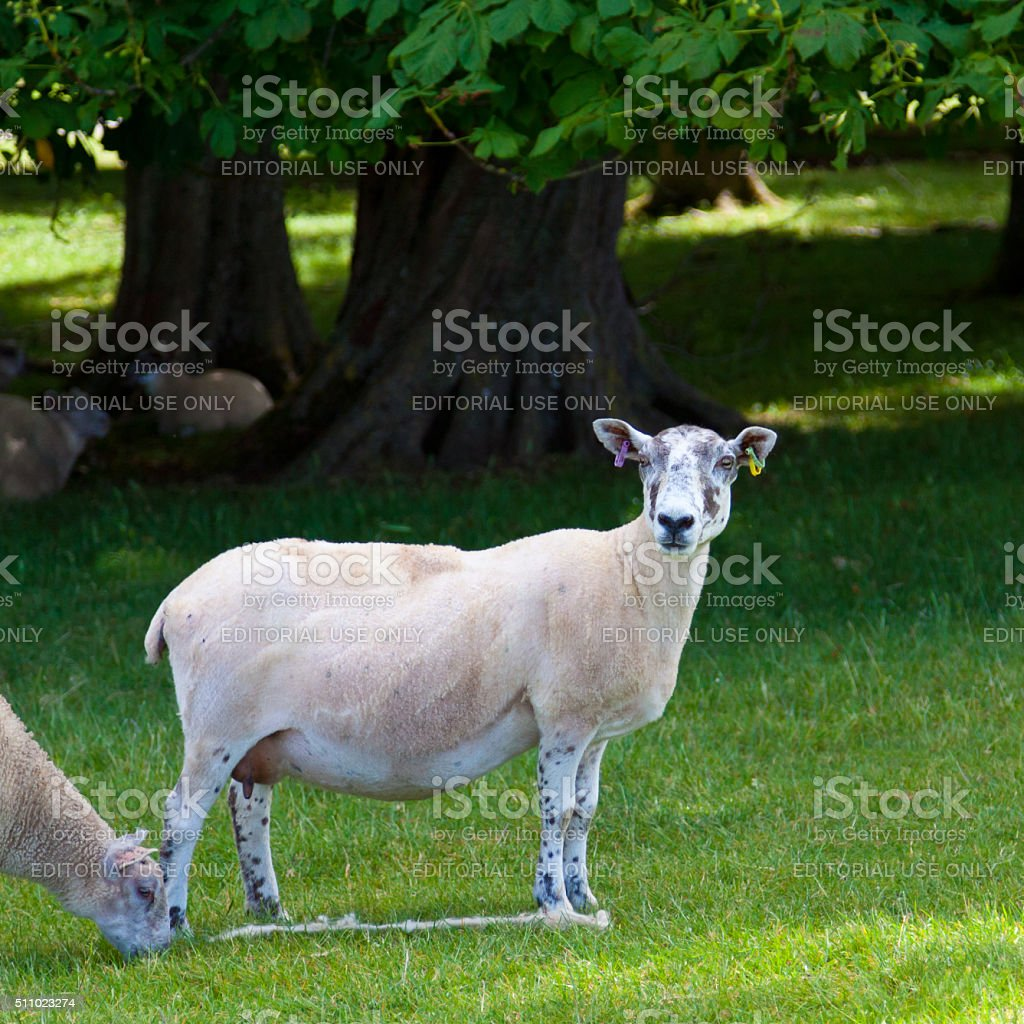 Grazing Sheeps at Blenheim Palace Park, Woodstock, Oxfordshire, England, UK. stock photo