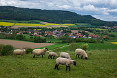 Grazing sheeps in a pasture, Germany