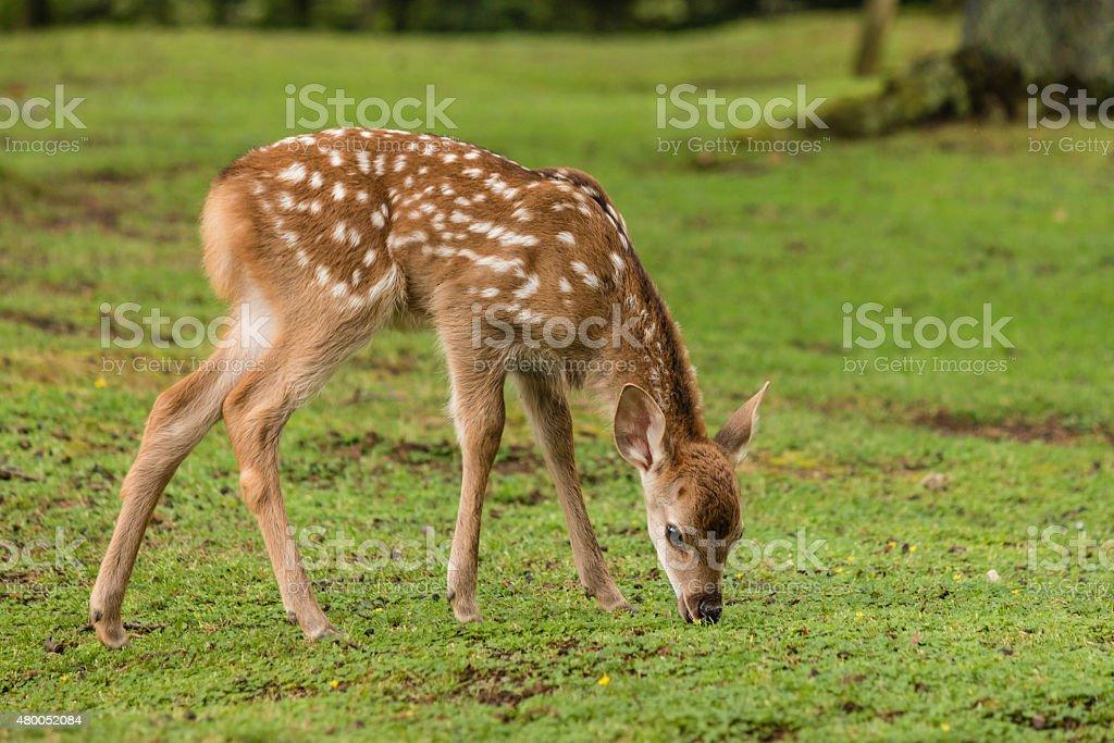 grazing sika deer fawn stock photo