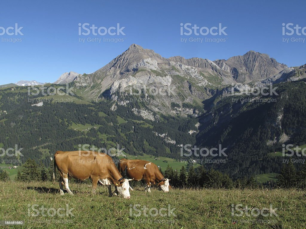Grazing Simmental Cows and mountains royalty-free stock photo