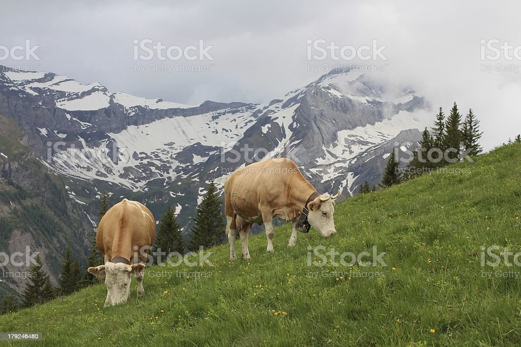 Grazing Simmental Cows in the Bernese Oberland royalty-free stock photo