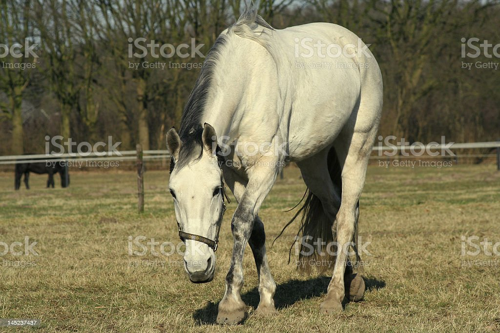 Pastar caballo blanco foto de stock libre de derechos