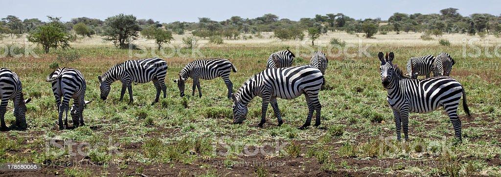 Grazing Zebras stock photo