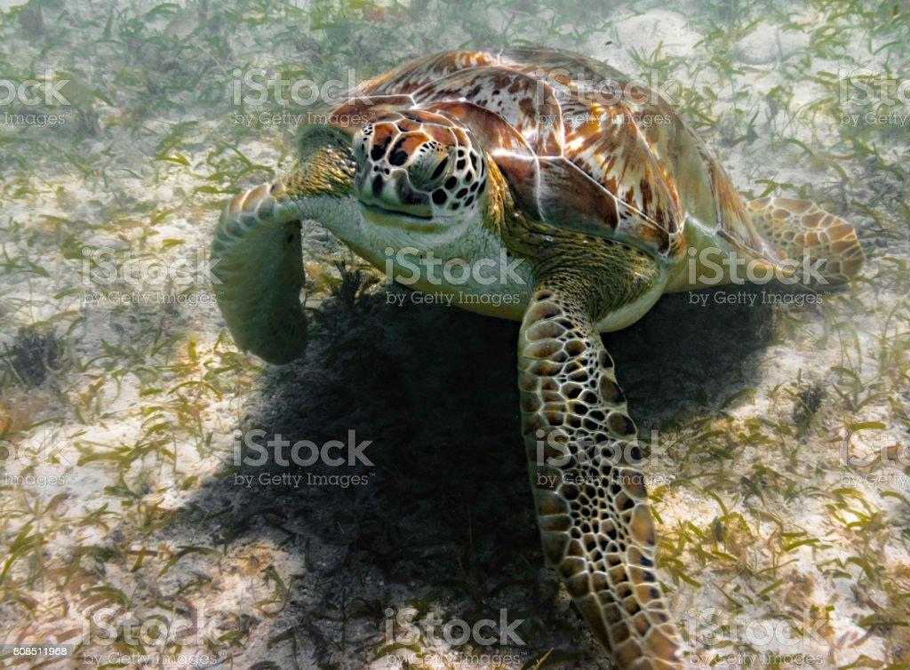 Grean sea turtle grazing on sea grass stock photo