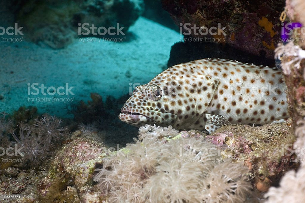 greasy grouper (epinephelus tauvina) royalty-free stock photo