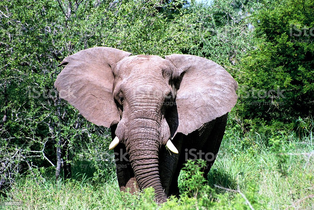 Great African elephant with tusks stock photo