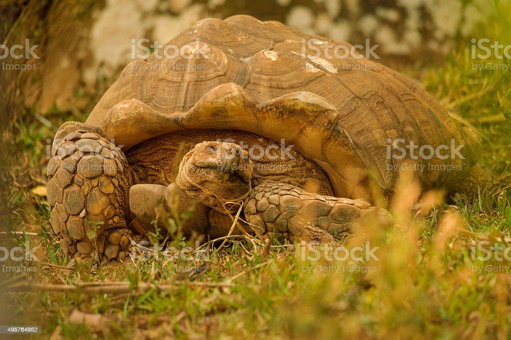 Great African Tortoise stock photo
