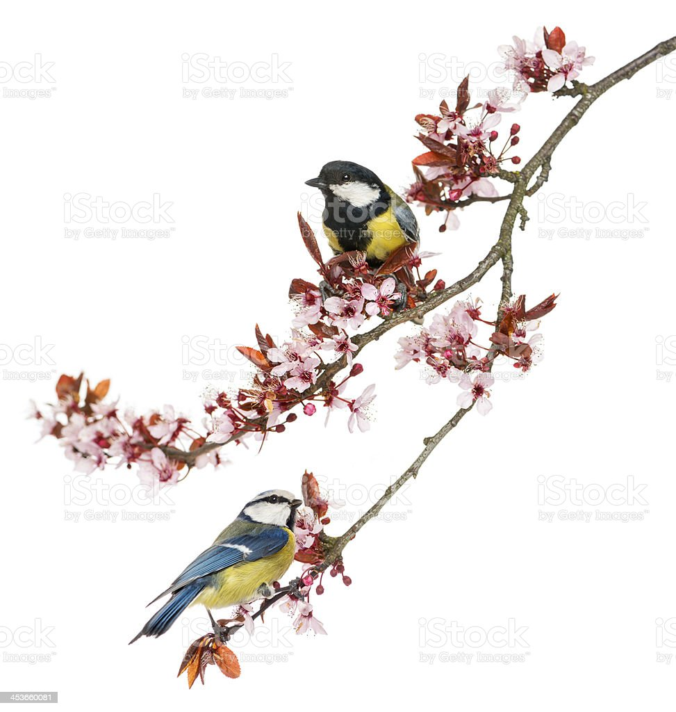 A great and blue tit birds perched on a branch with flowers royalty-free stock photo