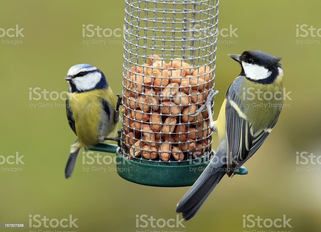 Great and Blue Tit Feeding stock photo