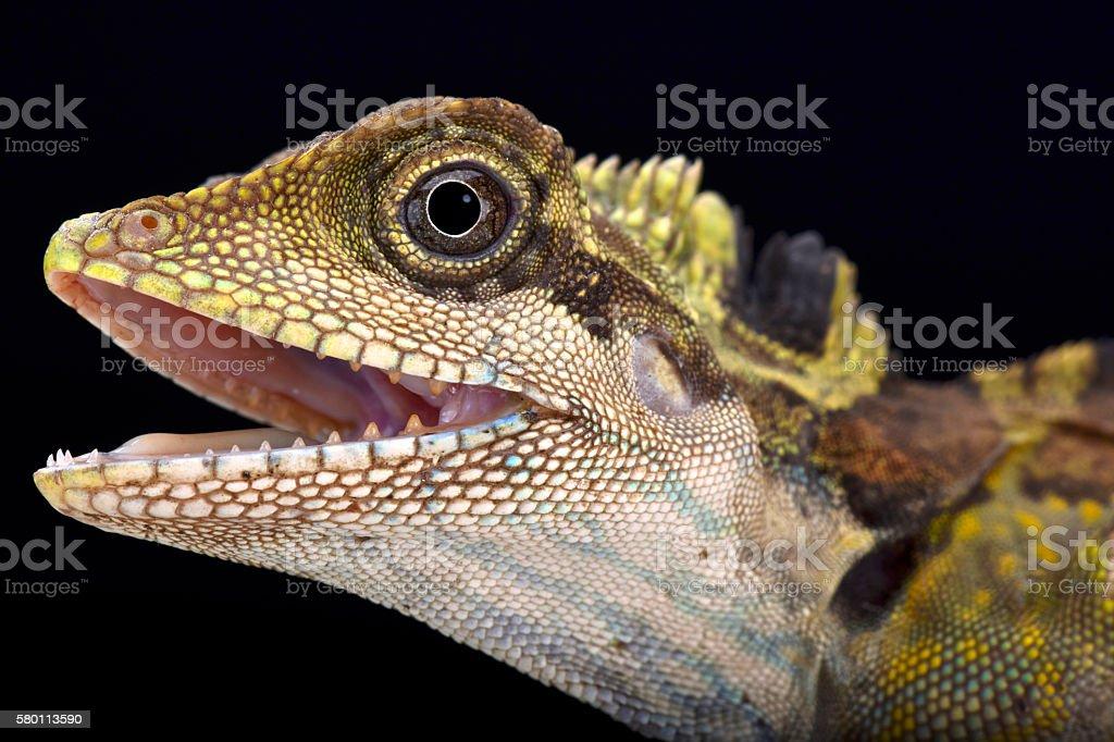 Great angle head lizard (Gonocephalus grandis) stock photo