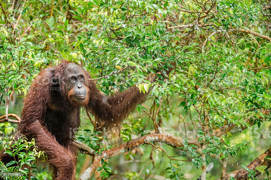 Great Ape on the tree. stock photo
