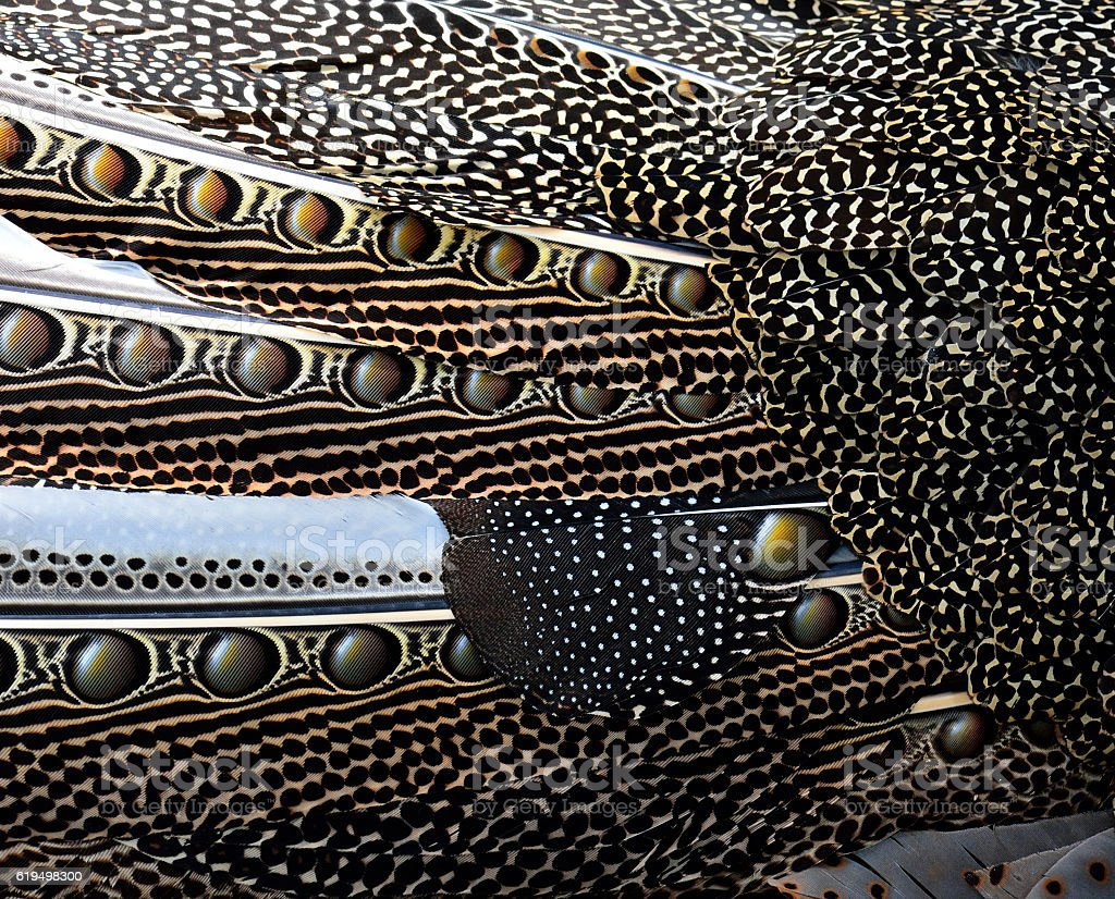 Great Argus bird's wing feathers with black spots on stock photo