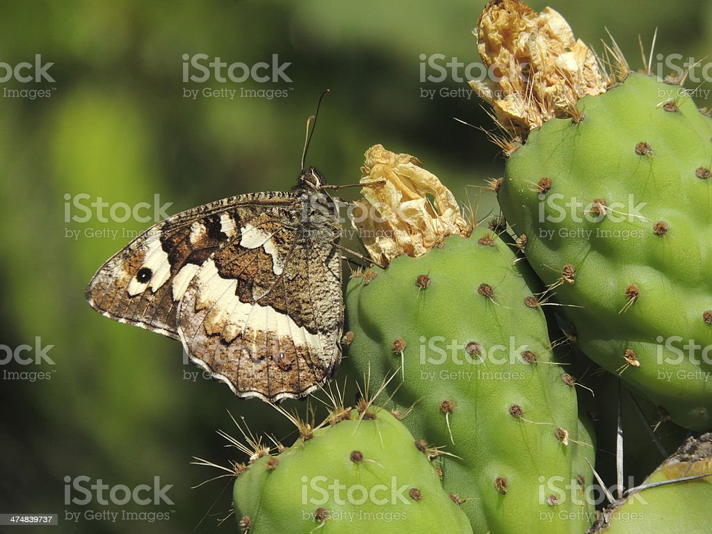 Great Banded Grayling on Prickly Pear Cactus royalty-free stock photo