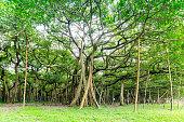 Great banyan tree, Howrah, West Bengal, India