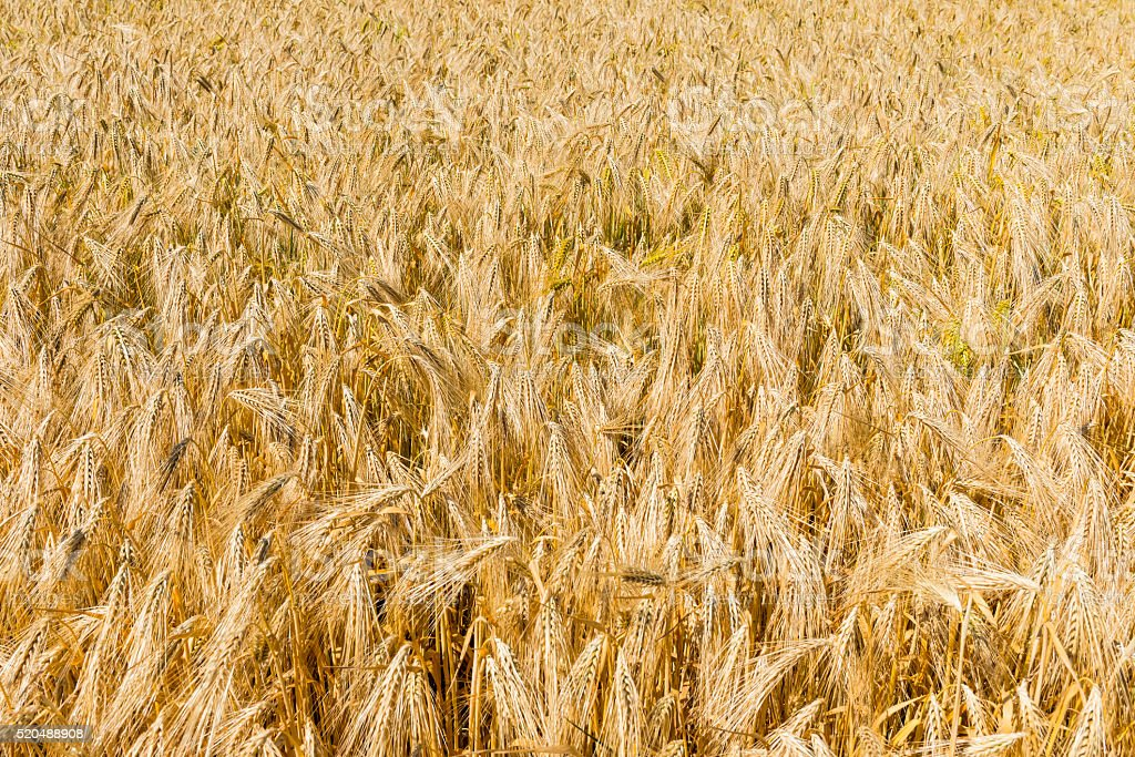 Great Barley Field stock photo