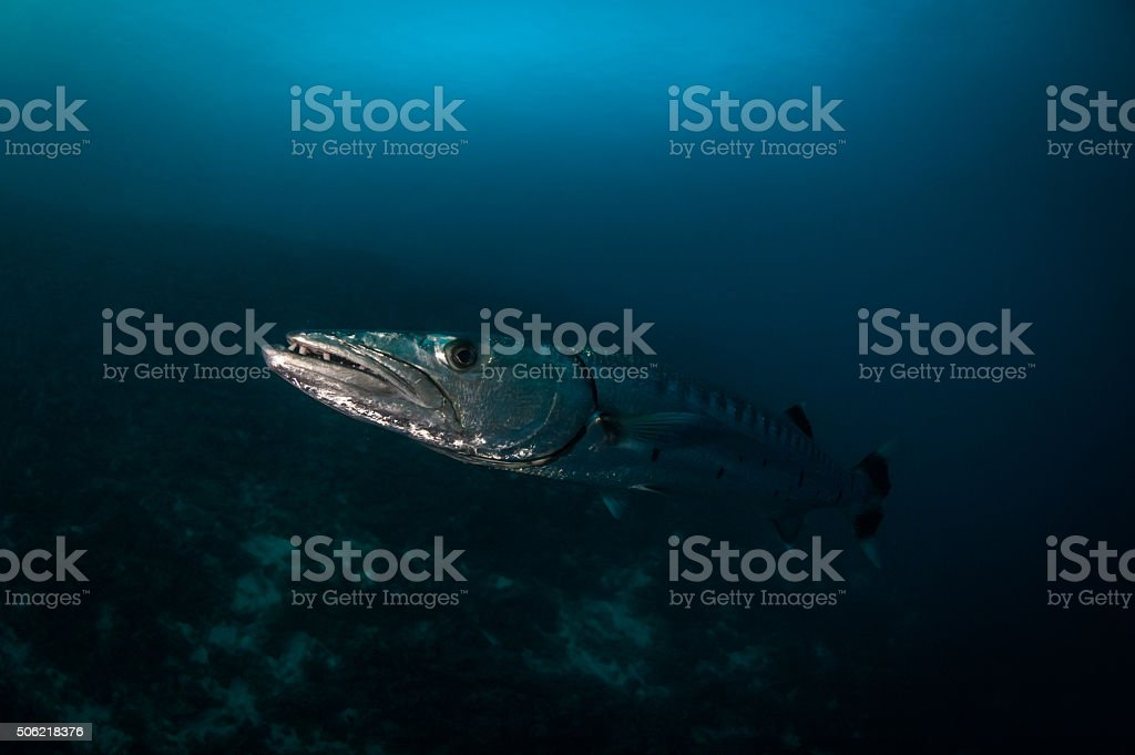 Great barracuda at close quarters stock photo
