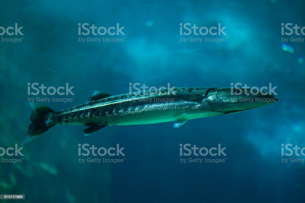 Great barracuda (Sphyraena barracuda). stock photo