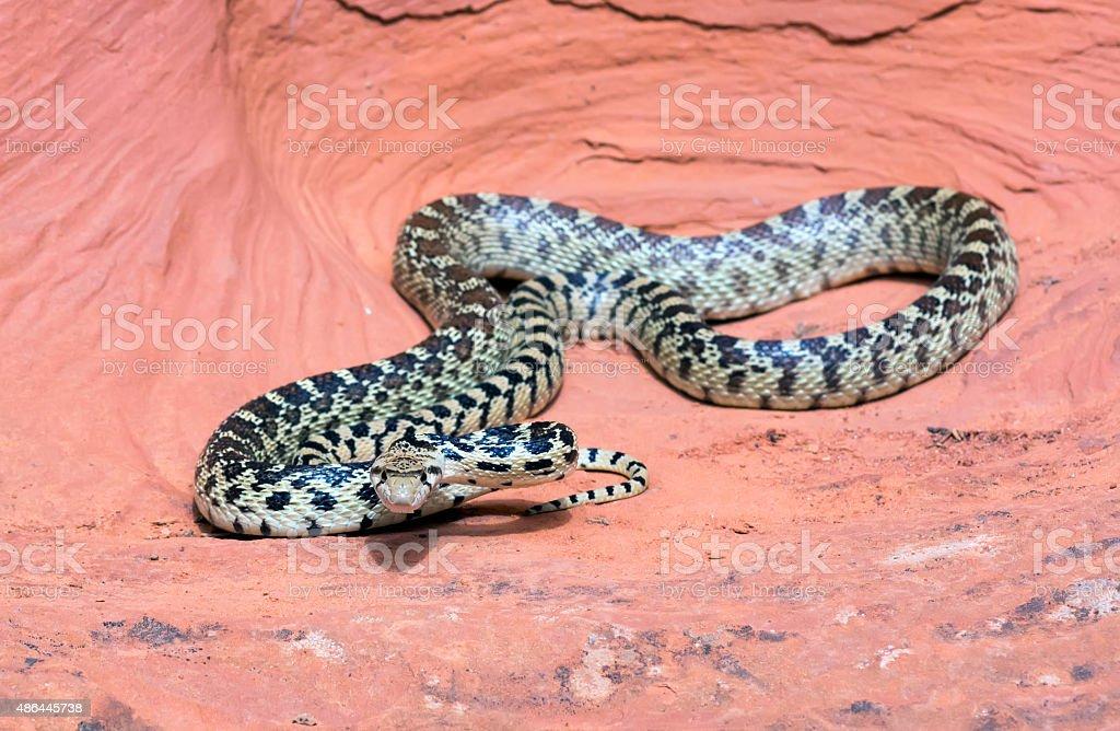Great Basin Gopher Snake (Pituophis catenifer deserticola) stock photo