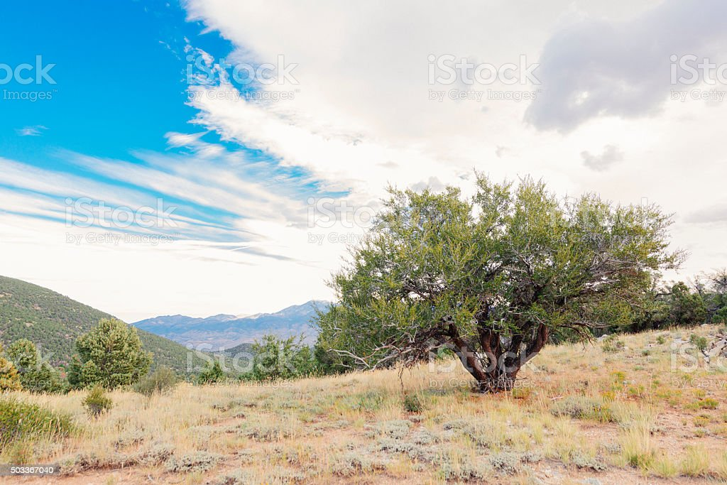 Great Basin National Park Tree in Nevada Mountaintop Landscape stock photo