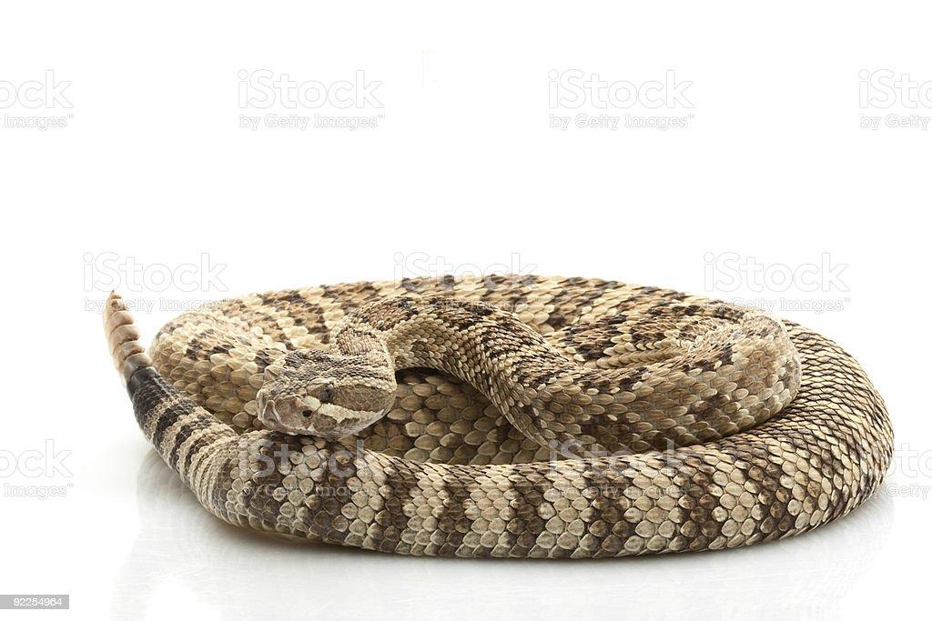 Great Basin Rattlesnake stock photo