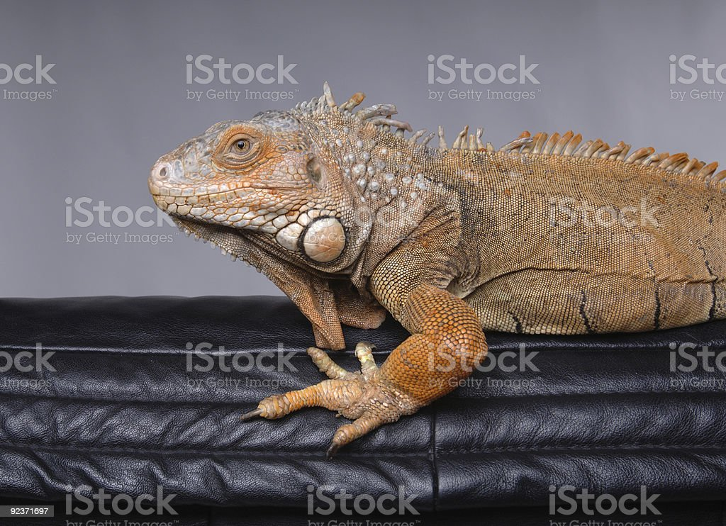 Great BIG lizard or Iguana to be precise stock photo