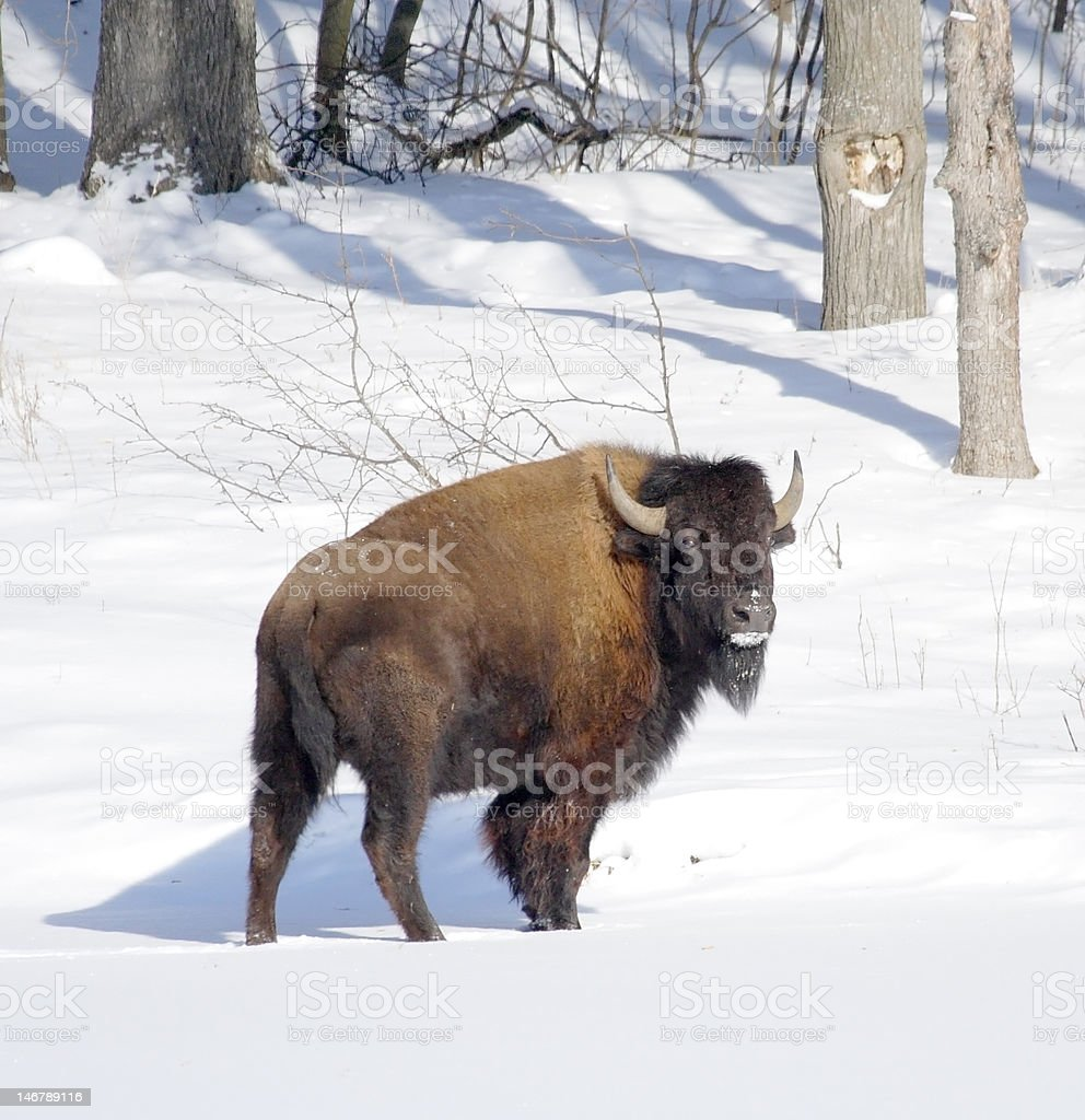 Great bison. royalty-free stock photo