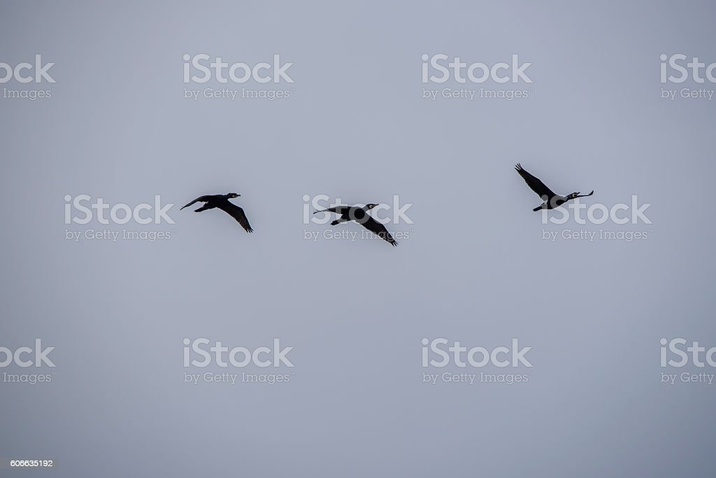 Great Black Cormorants Flying in Formation stock photo