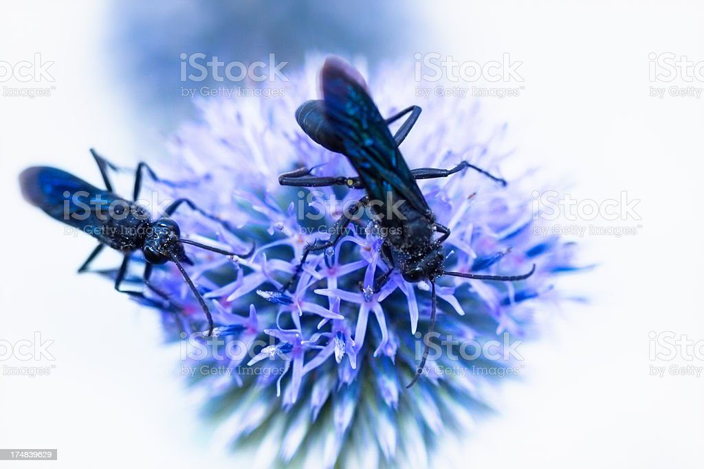 Great Black Wasps On A Thistle Flower, sphex pensylvanius royalty-free stock photo
