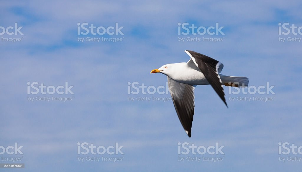 Great black-backed gull. White seagull flying stock photo