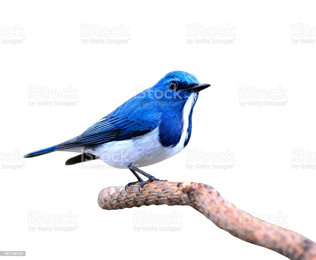 Great blue bird,Ultramarine flycatcher posing on the branch isol stock photo