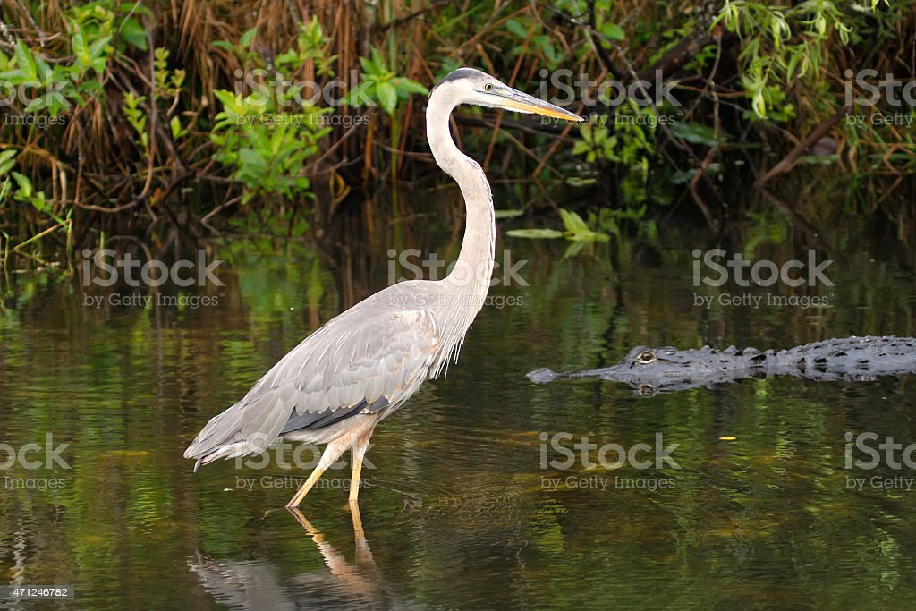 Great blue heron and alligator stock photo