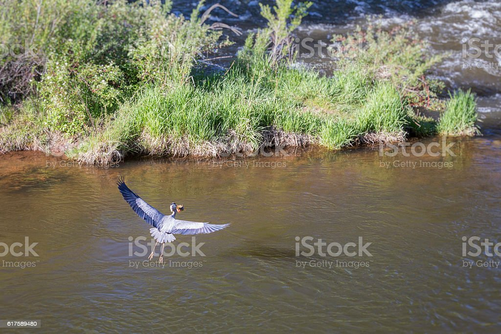 Great Blue Heron and Fish stock photo