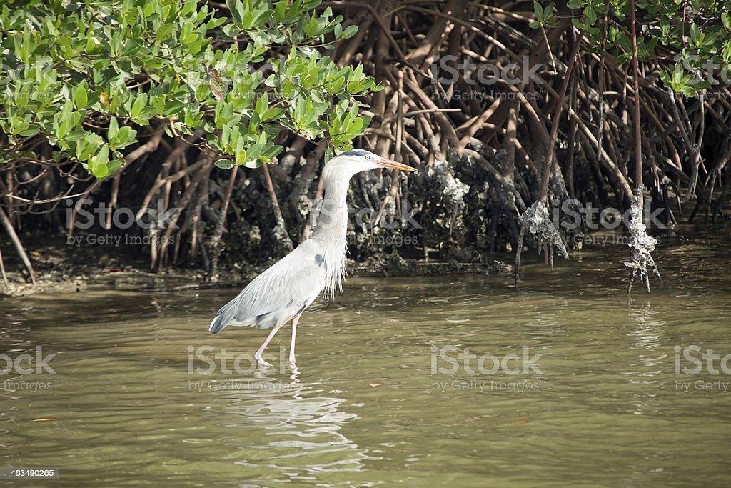 Great Blue Heron Bird in Water near Mangrove Roots stock photo