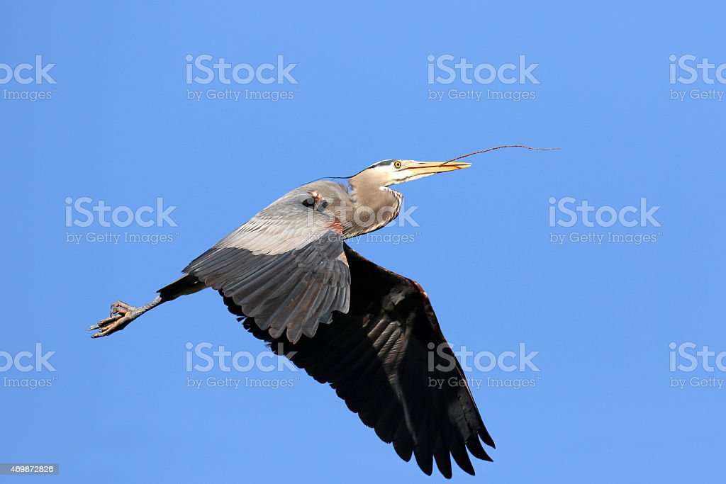 Great Blue Heron Carrying a Stick for Nest stock photo