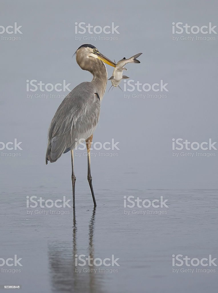 Great Blue Heron catches really big fish. royalty-free stock photo