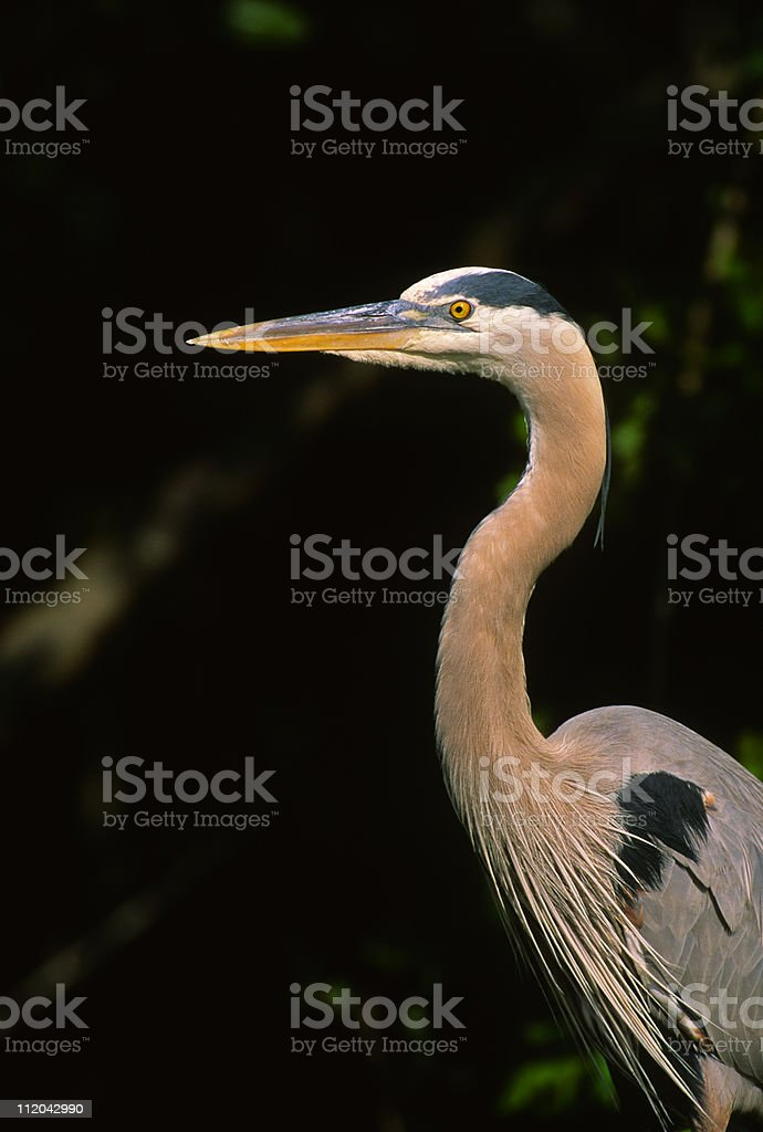 Great Blue Heron Close up stock photo
