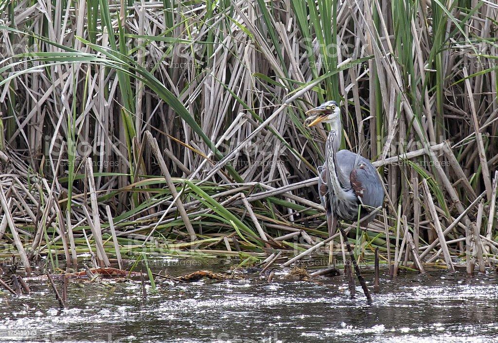 Great blue heron eating fish royalty-free stock photo