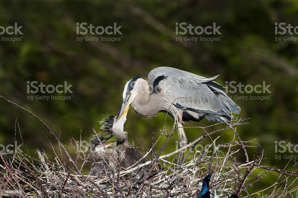 Great Blue Heron feeding young royalty-free stock photo