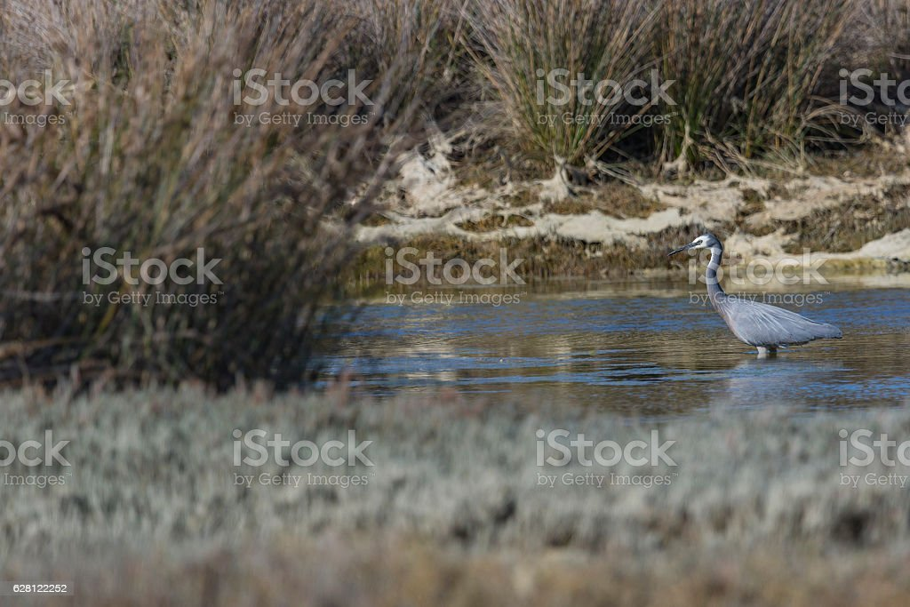 Great blue heron fishing in a pond. stock photo