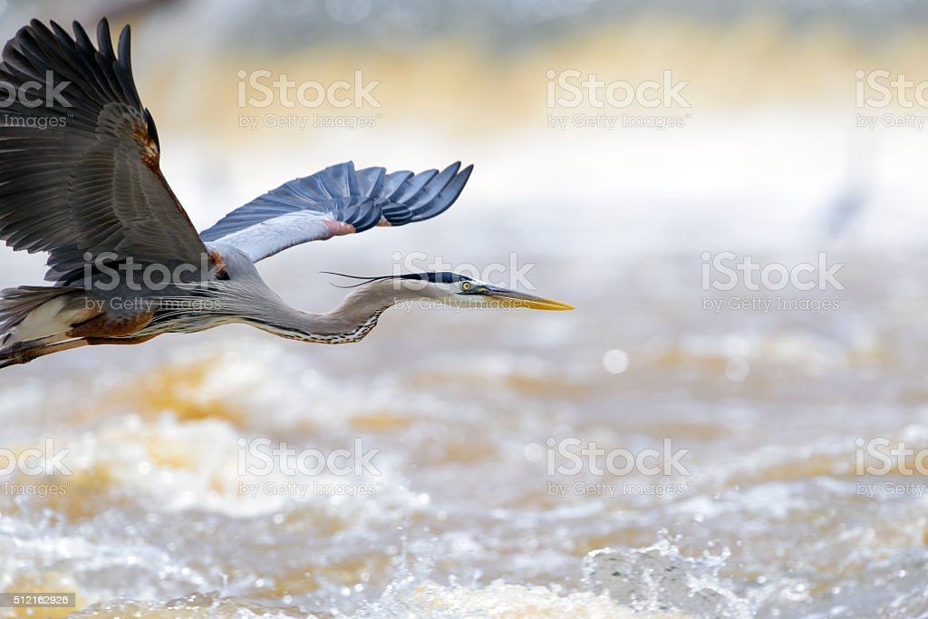 Great Blue Heron Flight, Room stock photo