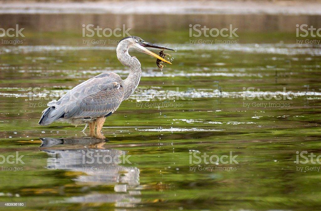 Great blue heron flips crawdad through air into beak Colorado stock photo