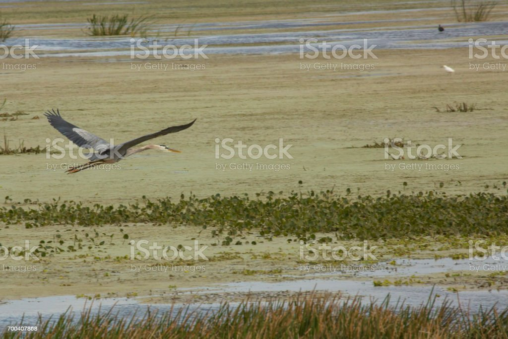 Great blue heron flying over a swamp in Christmas, Florida. stock photo